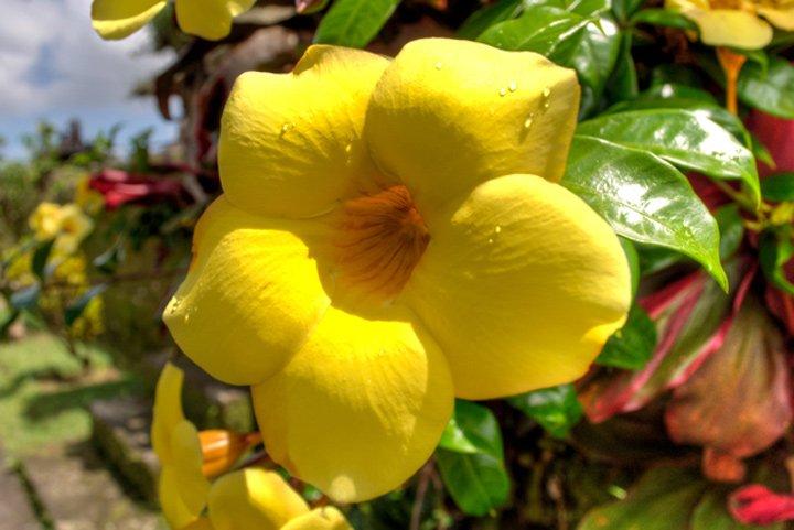 Alamanda flower in Bali