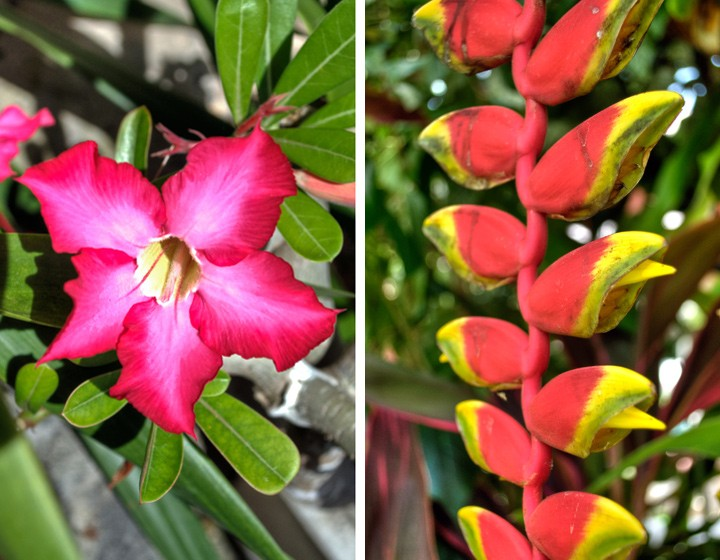 Adenium and Heleconia flowers