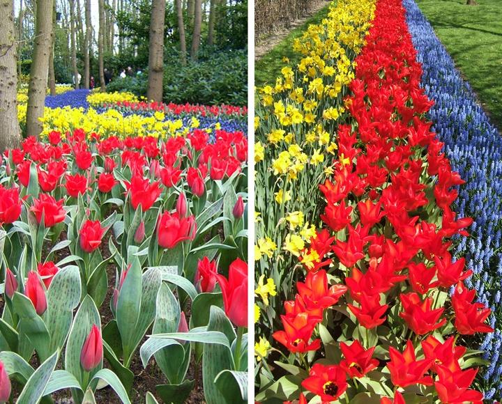 Tulips in Keukenhof gardens, Netherlands