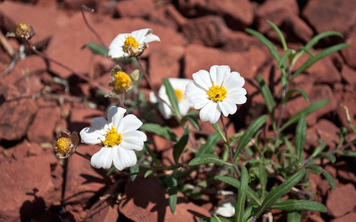 Red rocks and white flowers in Arizona, southwest USA