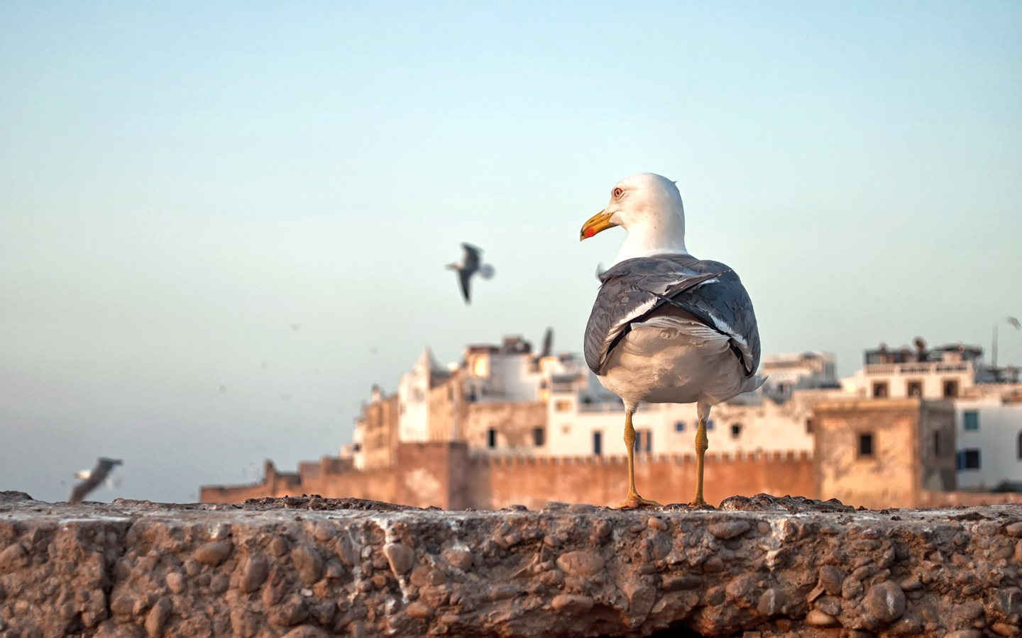 Seagull on the ramparts of Essaouria at sunset