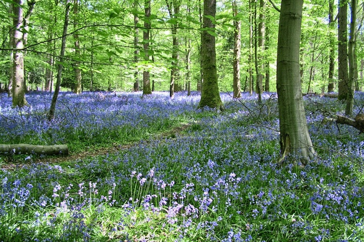 Bluebells in the Forest of Dean, Gloucestershire England