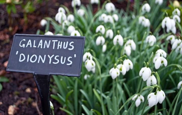 Galanthus Dionysus