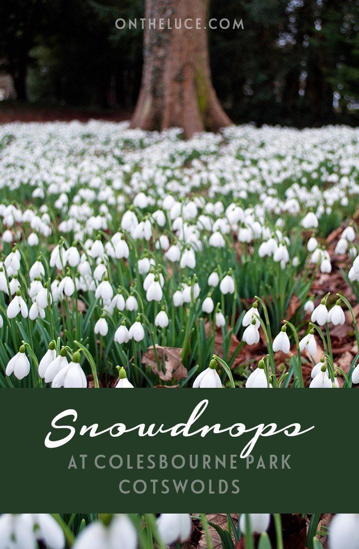 The first snowdrops show spring is on its way – Colesbourne Park in the English Cotswolds takes snowdrop growing to extremes with 250 different varieties.