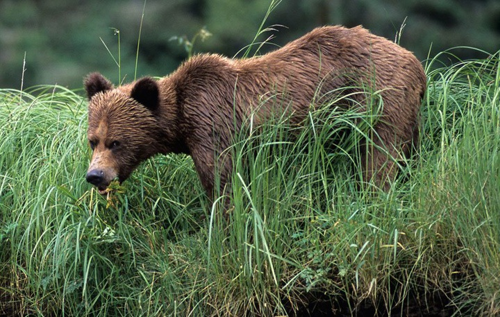 Grizzly bear, Great Bear Rainforest