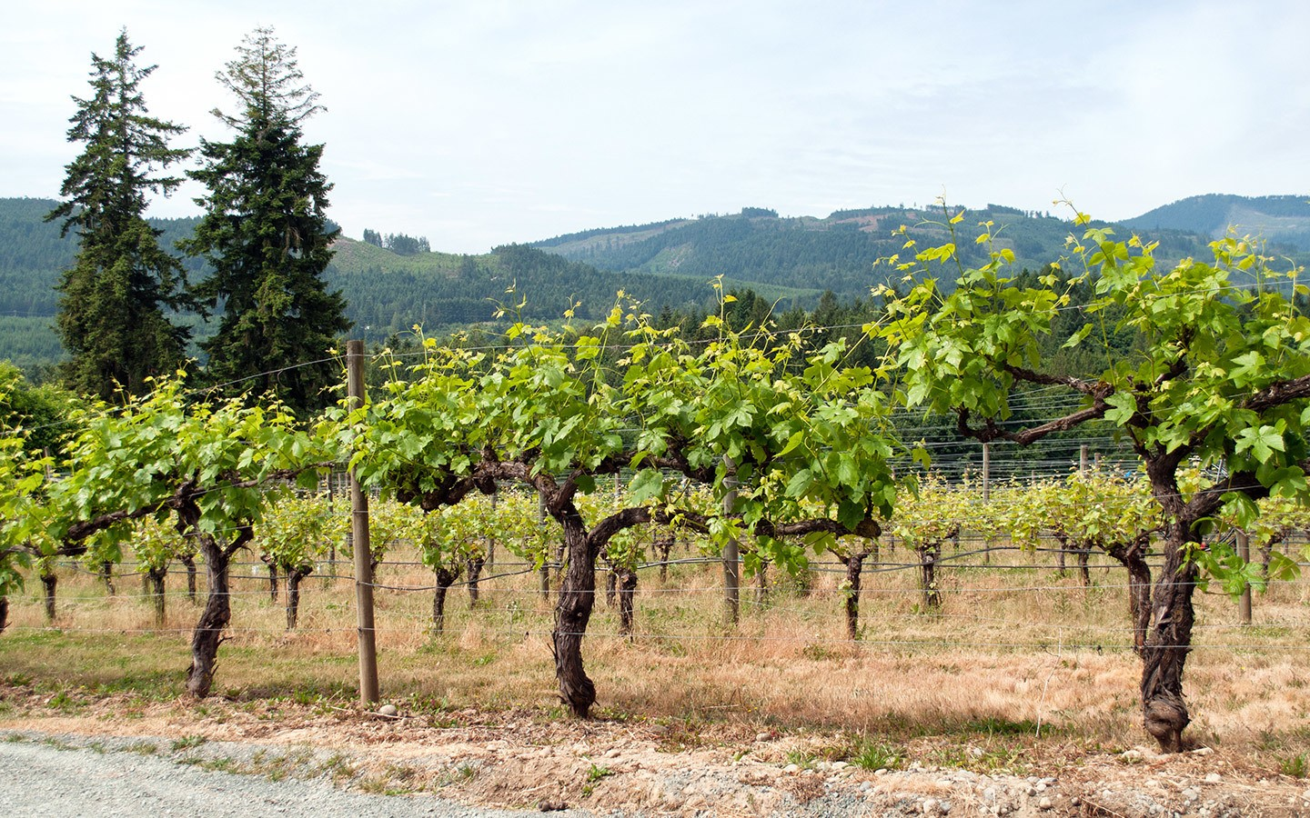 Vines in Vancouver Island's Cowichan Valley wine region
