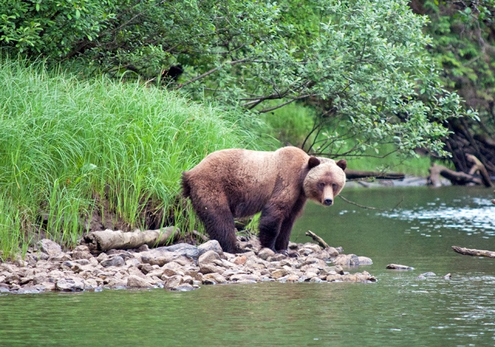 Grizzly bear in Canada's Great Bear Rainforest