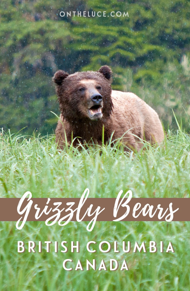 Exploring Canada's Great Bear Rainforest, one of the world's rare temperate rainforests, a land of mist and water that's the home of the grizzly bear. #Canada #ExploreCanada #grizzlybears #wildlife