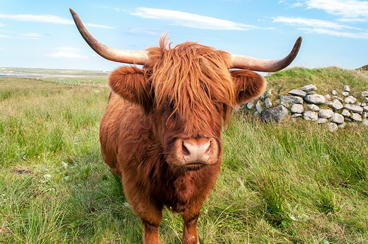 Highland coo in the Outer Hebrides