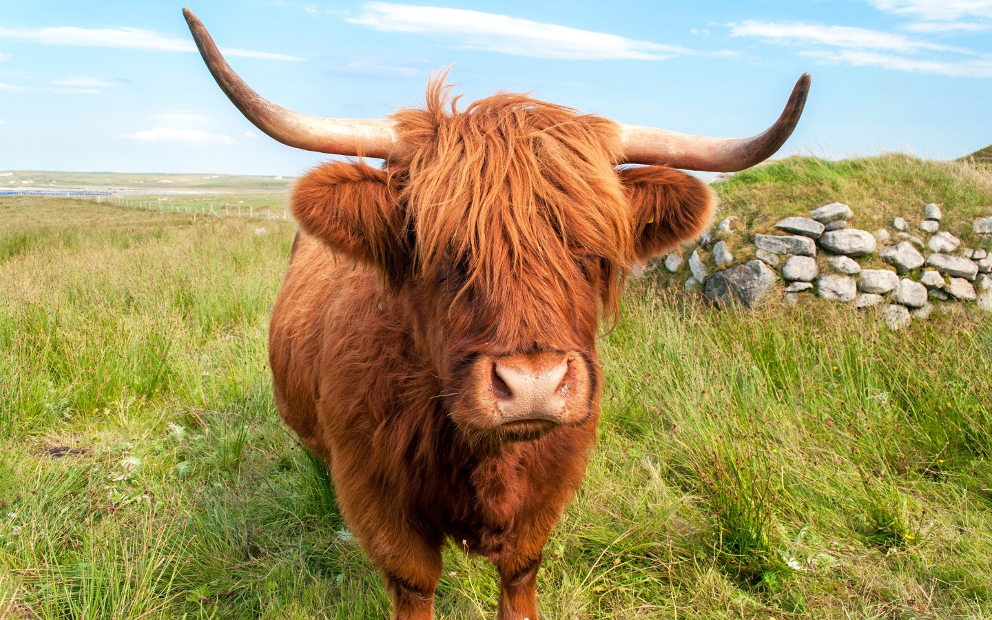A Highland Coo in the Outer Hebrides