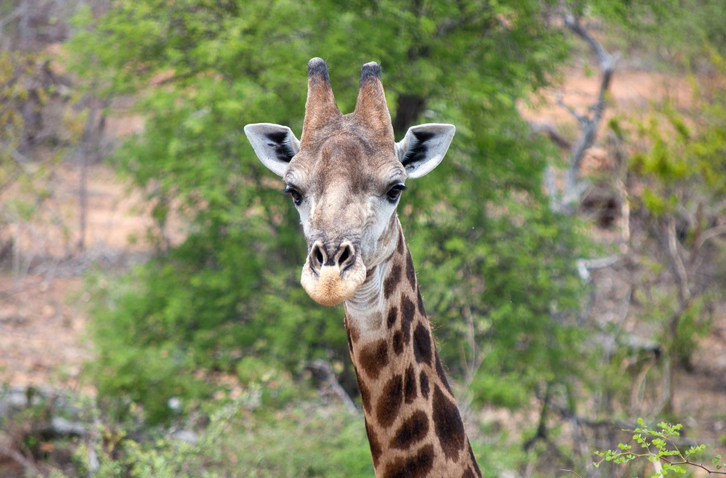 Giraffe in Balule Game Reserve South Africa