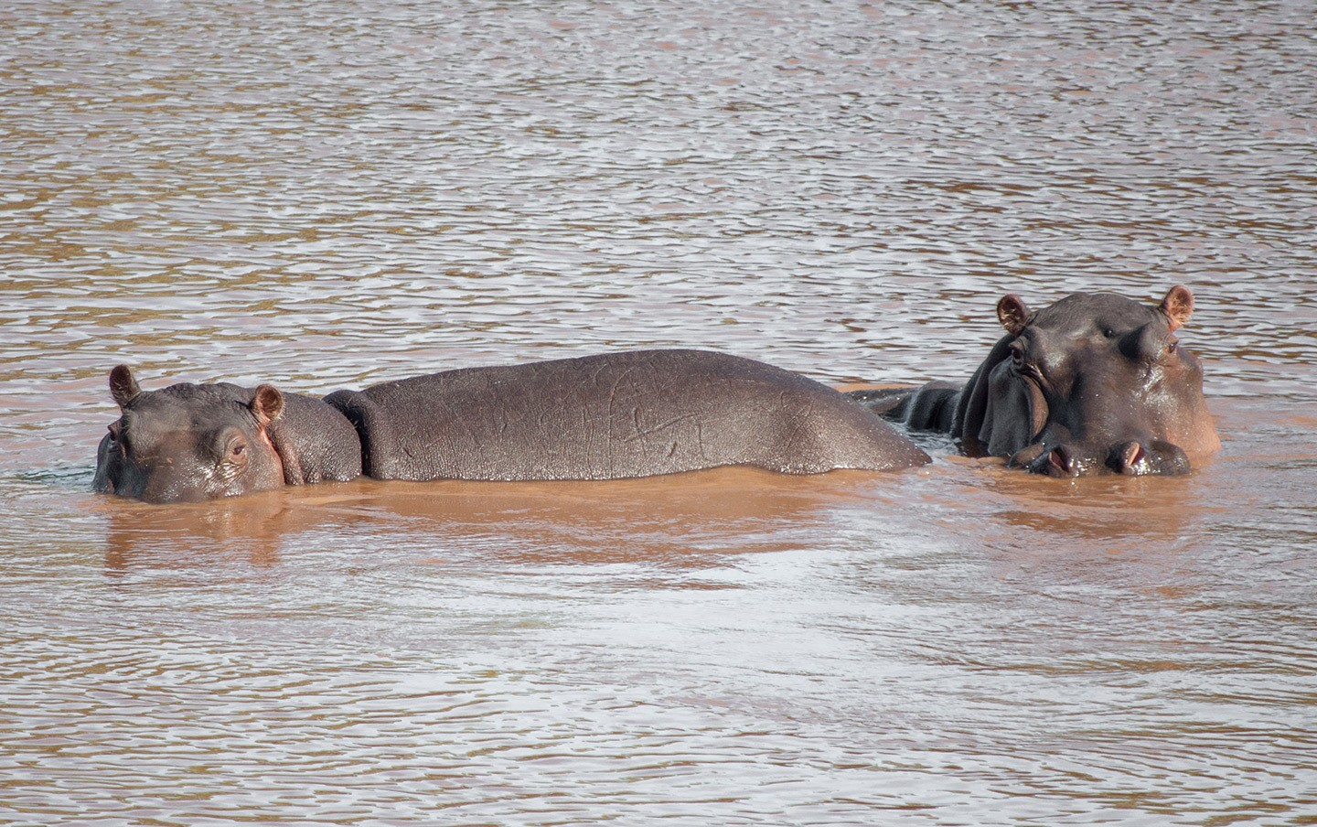 Hippos in Olifants River