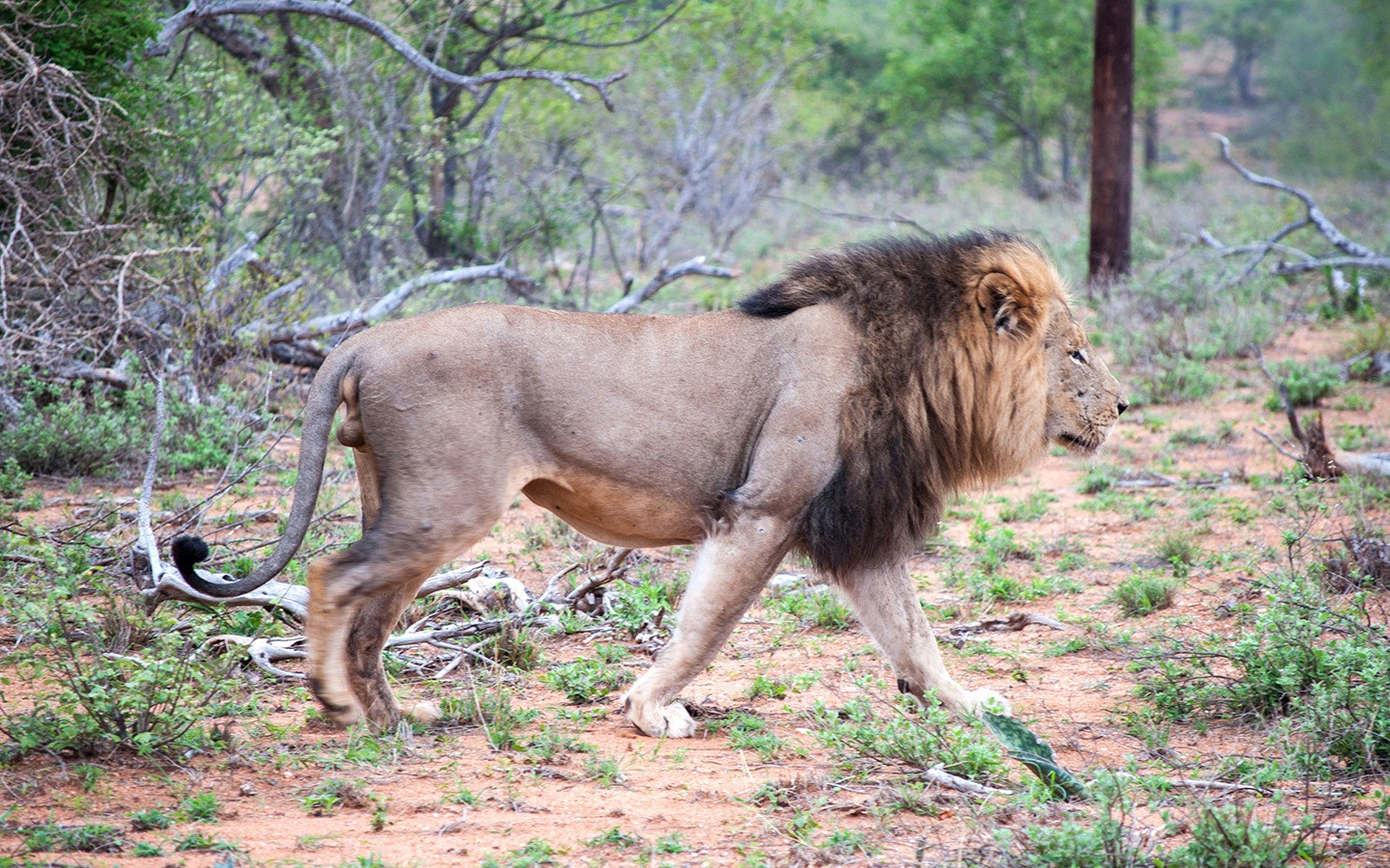 Male lion Balule Game Reserve