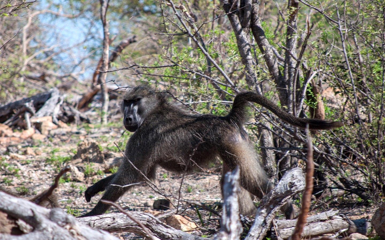 Monkey on safari in Naledi Game Lodge in South Africa