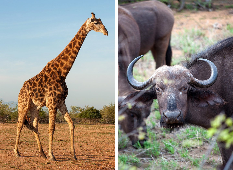 Giraffe and buffalo at Naledi Game Lodge in South Africa