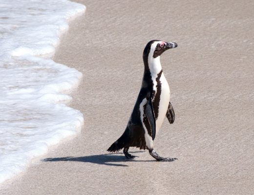 Penguins, peaks and panoramas: A Cape Town road trip
