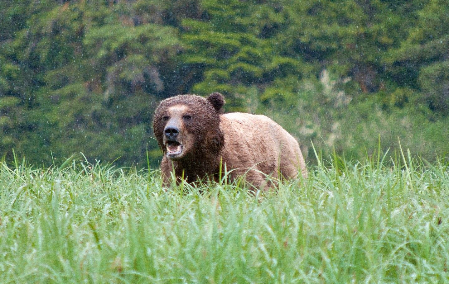 Bear in Great Bear Rainforest Canada
