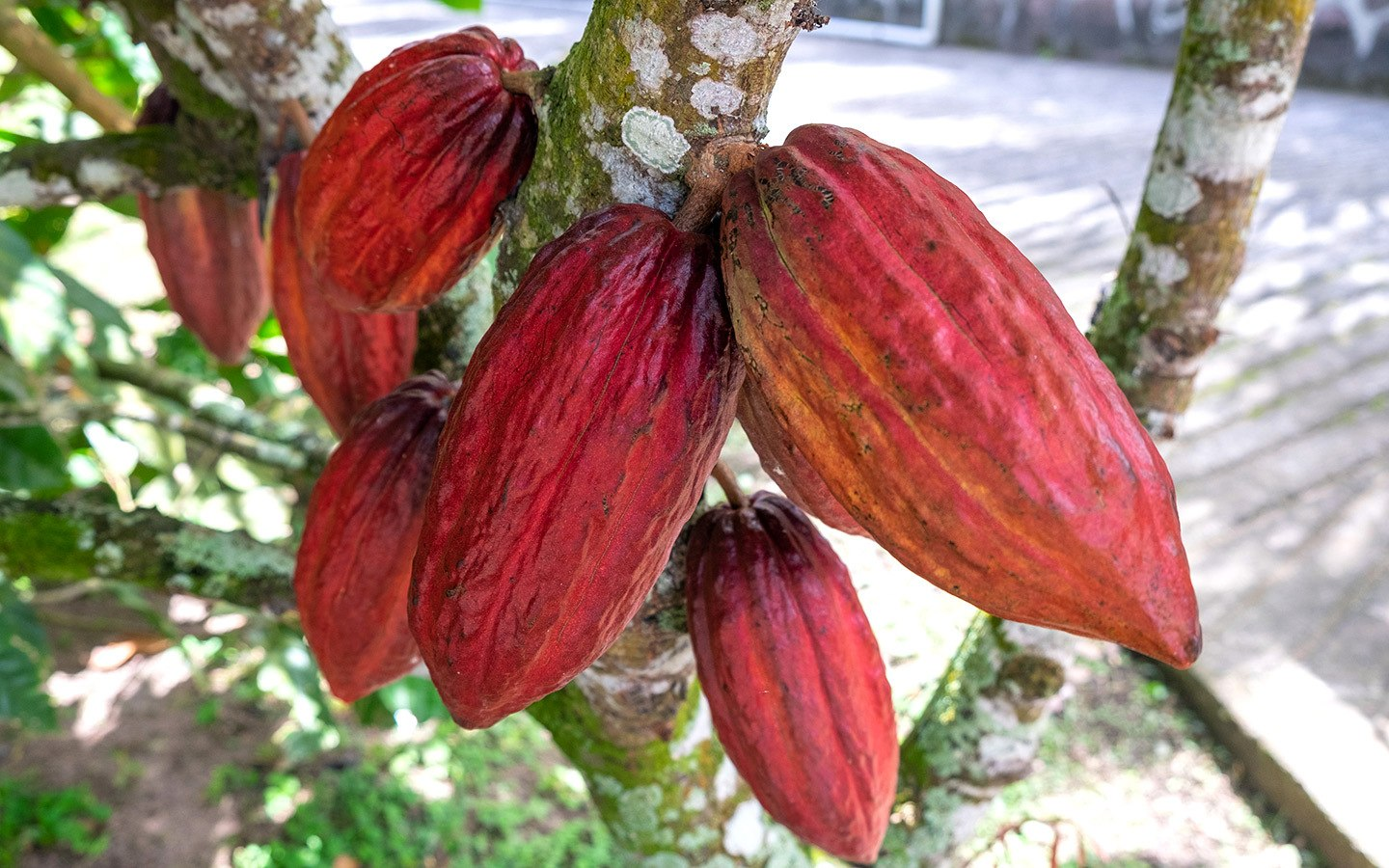 Cocoa pods at Rabot Estate plantation, Saint Lucia