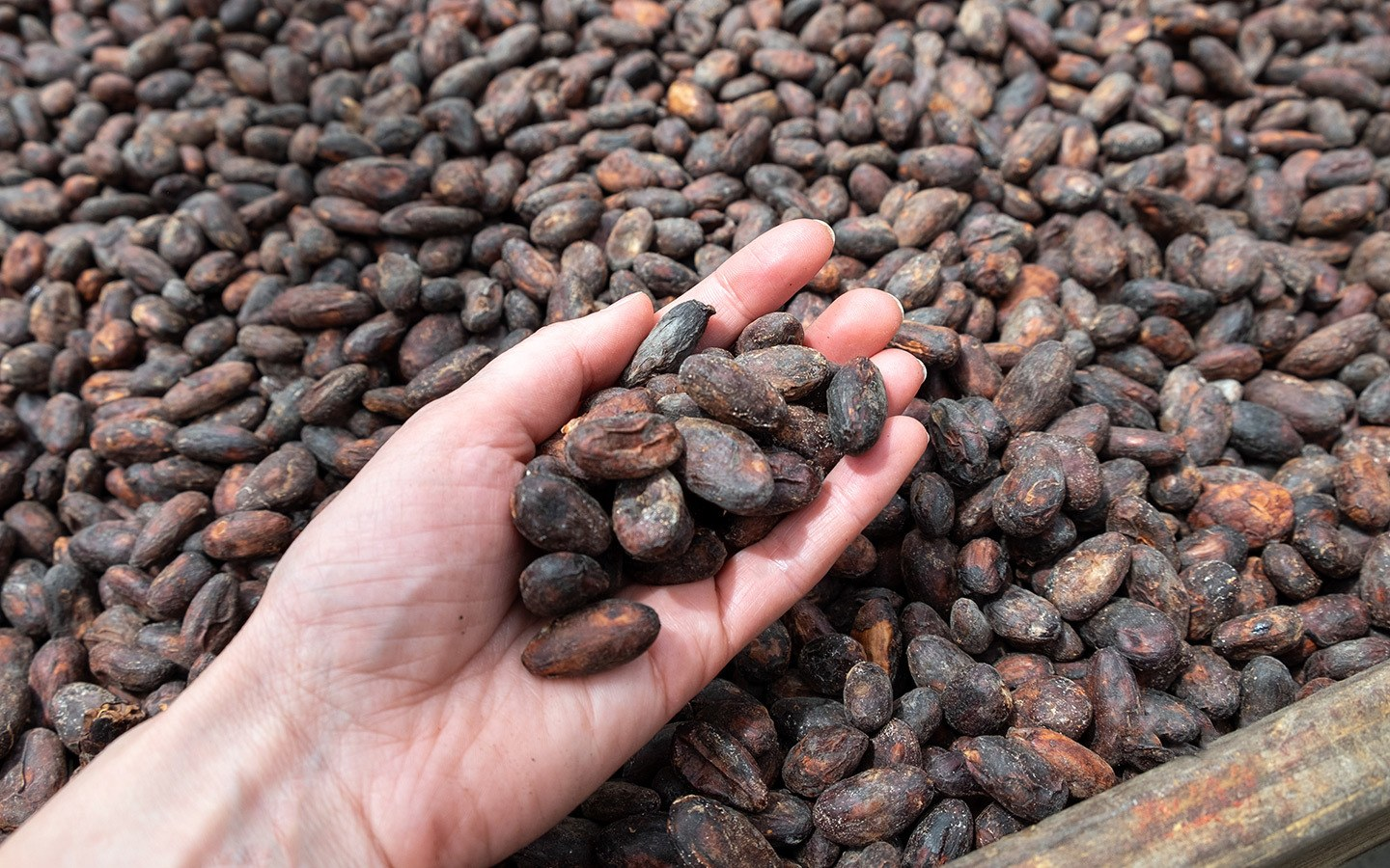 Fermenting cocoa beans at Hotel Chocolat Saint Lucia