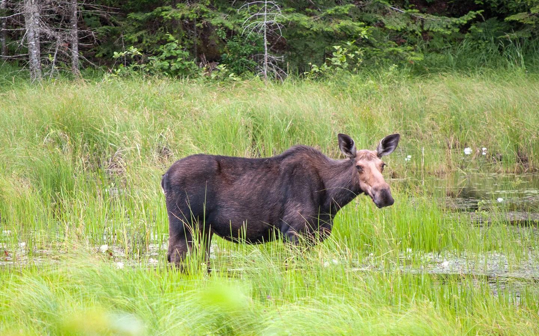 Moose in Algonquin Provincial Park