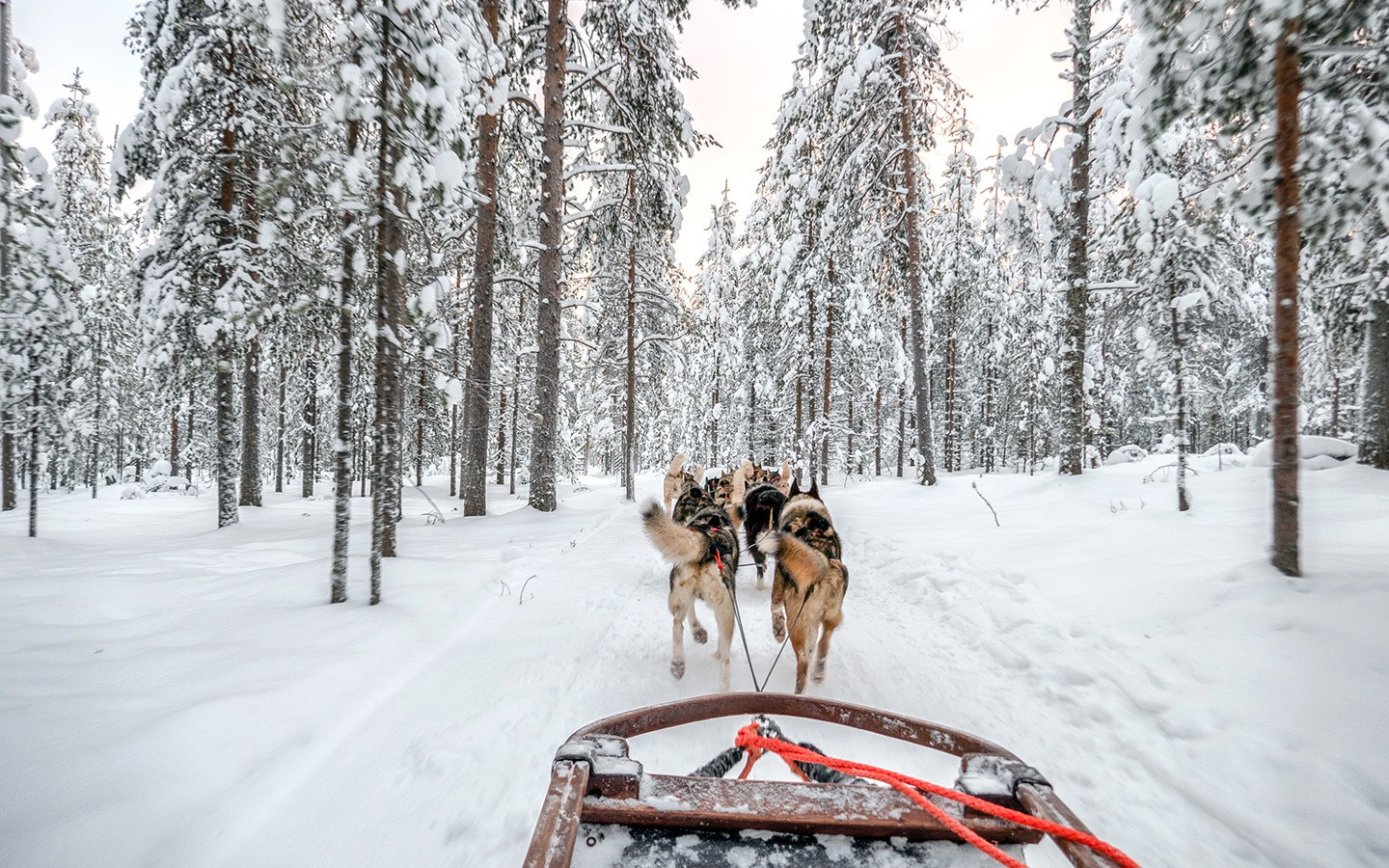 Husky sled ride in Rovaniemi, Finnish Lapland