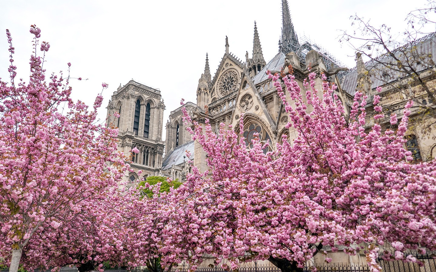 Cherry blossoms at Notre Dame cathedral Paris