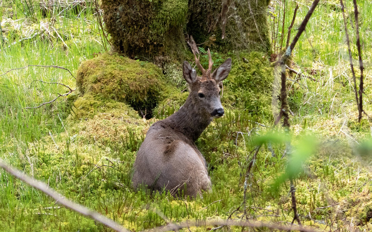 Deer in the woodland near Glencoe