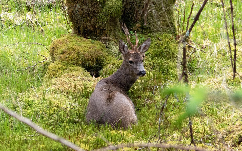 Deer in the woodland near Glencoe