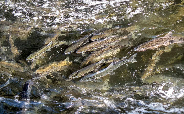 Salmon migrating upstream in Alaska