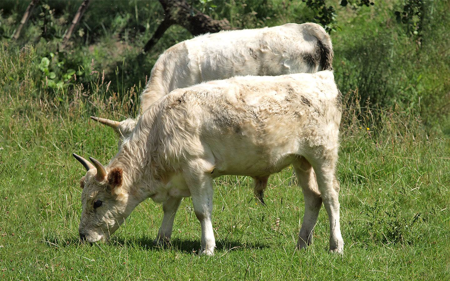 Chillingham Cattle in Northumberland